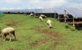 13 Sheep Eat Weeds at 2 Solar Plants in Kumamoto