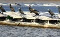 Waterfowl Droppings, Anglers Vexing Floating Solar Plant in Hyogo
