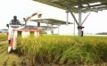 Rice Farmer Introduces Solar Sharing Using 2-axis Solar Tracking System (1)